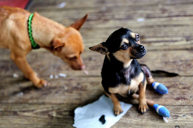 Scooter, with his feet wrapped to protect them, sits next to fellow foster dog James at the home of Malcolm and Gini Clements. Photo: Lisa Krantz, San Antonio Express-News / San Antonio Express-News