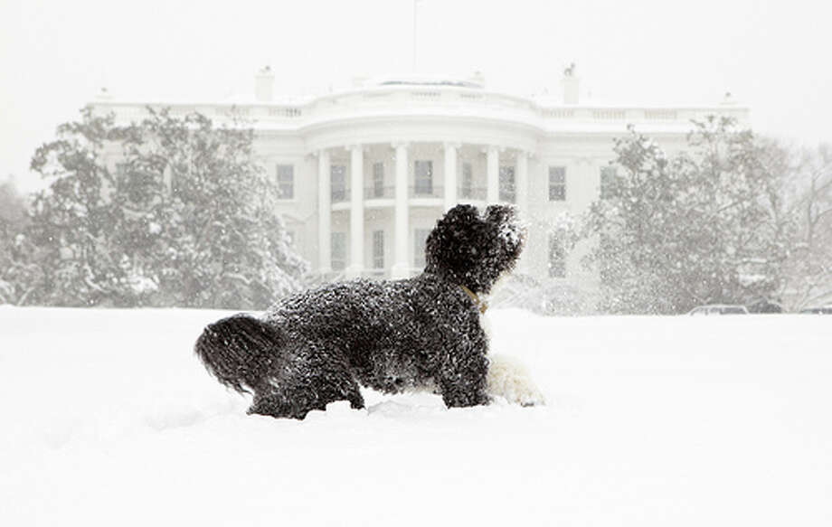 Bo, the Obama's family pet, plays in the snow during a blizzard on the south grounds of the White House, Feb. 10, 2010. Photo: Pete Souza / This official White House photograph is being made available only for publication by news organizations and/or for personal use
