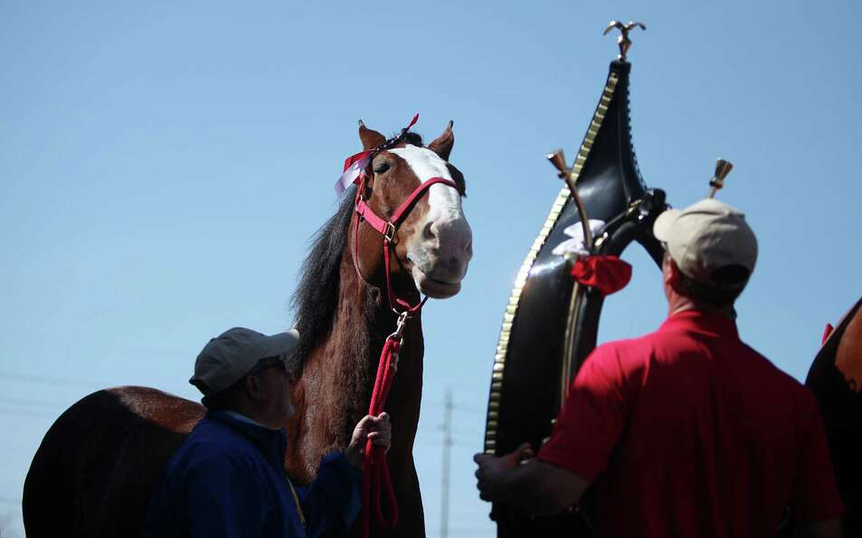 Staff prepare the Budweiser Clydesdales to visit radio winner at his Super Bowl Party on Sunday, Feb