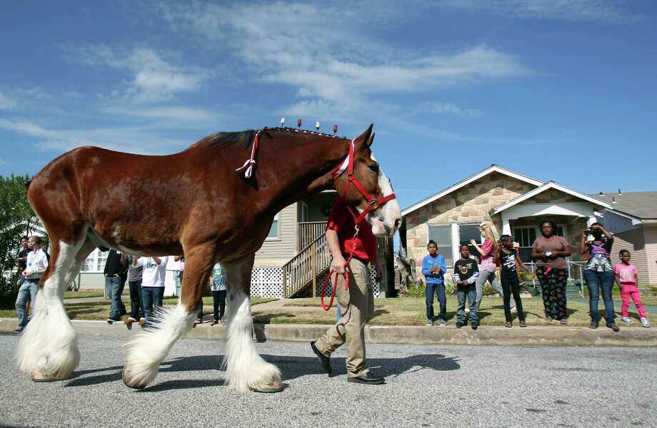Island residents view the staff prepare the Budweiser Clydesdales to visit the Super Bowl Party of a radio listener on Sunday, Feb. 3, 2013, in Galveston. Greg Koch, Green Bay Packers, and Sports Talk 790 host Adam Wexler accompany horses to visit the radio listener. Photo: Mayra Beltran, Houston Chronicle / © 2013 Houston Chronicle