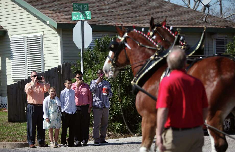 Island residents photograph the Budweiser Clydesdales making their way to visit radio winner at his Super Bowl Party on Sunday, Feb. 3, 2013, in Galveston.  Greg Koch, Green Bay Packers and Sports Talk 790, and host Adam Wexler accompany horses to visit the radio listener. Photo: Mayra Beltran, Houston Chronicle / © 2013 Houston Chronicle
