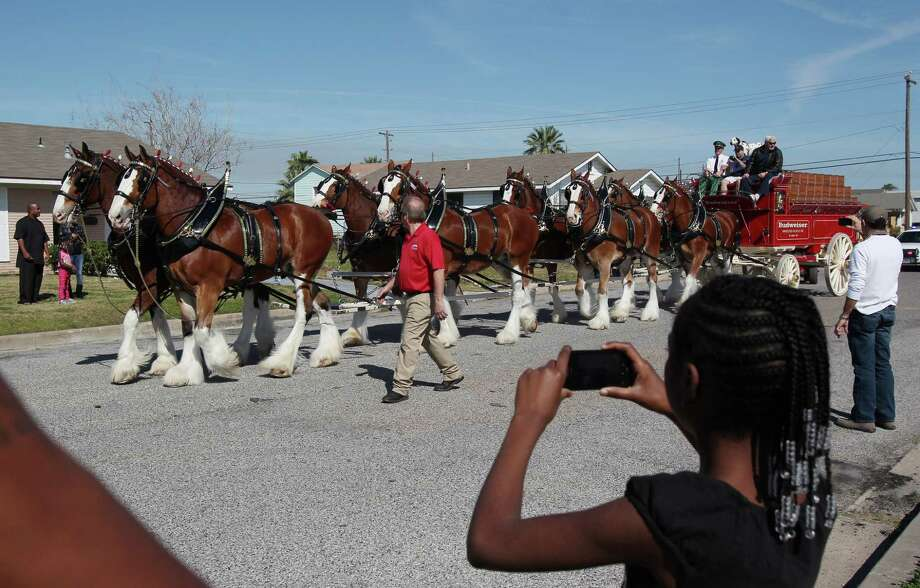 Mariah Brown, 10, views the Budweiser Clydesdales on their way to visit a radio winner at his Super Bowl Party on Sunday, Feb. 3, 2013, in Galveston. Greg Koch, Green Bay Packers, and Sports Talk 790 Host Adam Wexler accompany horses to visit the radio listener. Photo: Mayra Beltran, Houston Chronicle / © 2013 Houston Chronicle