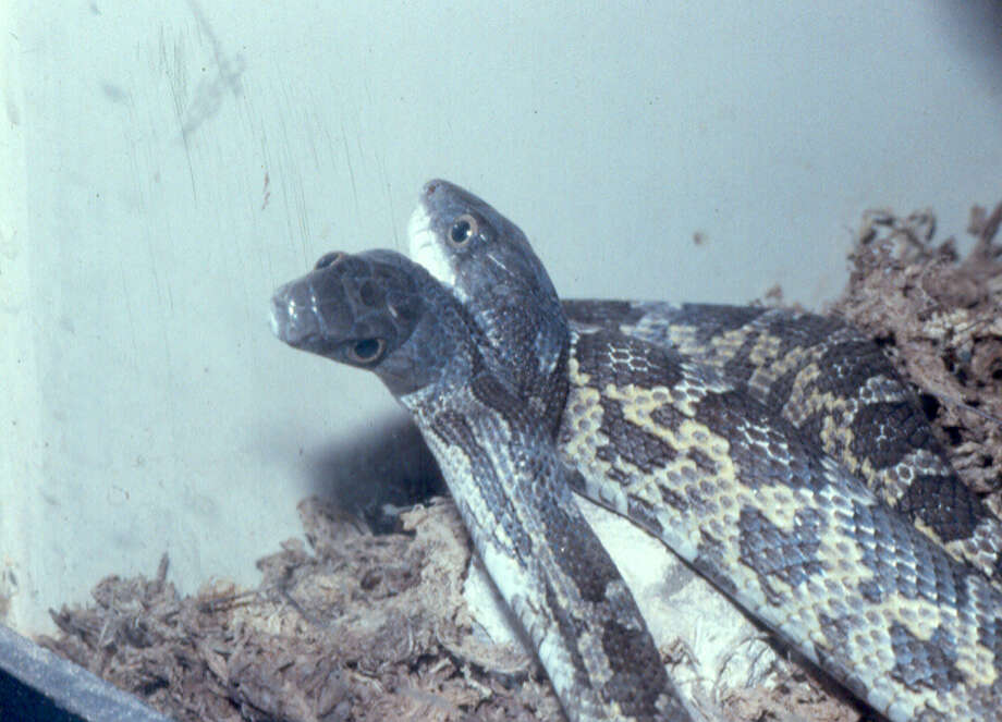 Famous snakes: Janus, the two-headed Texas rat snake that resided at the San Antonio Zoo, died in 1993. Photo: San Antonio Zoo