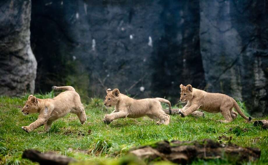 Electric can opener?Three lion cubs suddenly break into a run while exploring their new enclosure at the Woodland Park Zoo in Seattle Photo: Joshua Trujillo, Associated Press