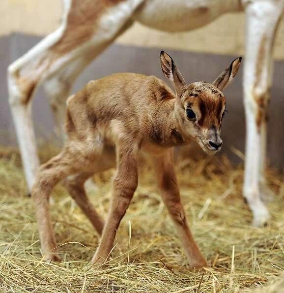 Mr. Wobbles: Only a day old, Ebo the mhorr gazelle tries out his new legs at the Botanic Gard