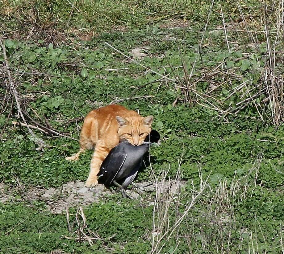 A domestic cat carrying a dead American Coot. Photo: Debi Shearwater