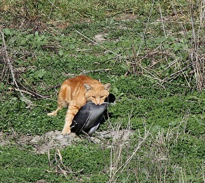 A domestic cat carrying a dead American Coot.