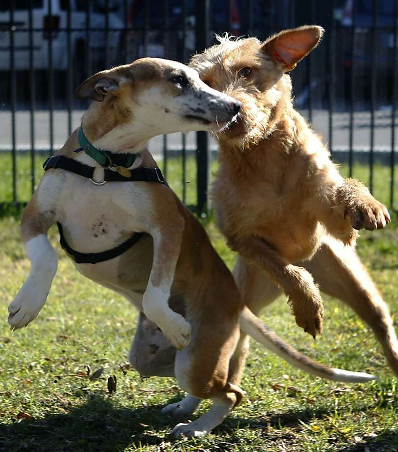 Pauly and Sukey play in the exercise yard at the East Bay SPCA in Oakland, Calif. on Thursday, Jan. 31, 2013. The two dogs are recent arrivals from Hawaii, after the local animal shelter agreed to take in some of the canines from the Kauai Humane Society. Photo: Paul Chinn, The Chronicle