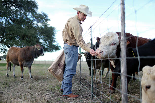 "Fohn Bendele feeds cattle at his Grassfield Farm in Hondo. His family and another in Hondo were featured in Ram's ""God Loves a Farmer"" commercial during the Super Bowl. Photo: Edward A. Ornelas, San Antonio Express-News / © 2013 San Antonio Express-News"