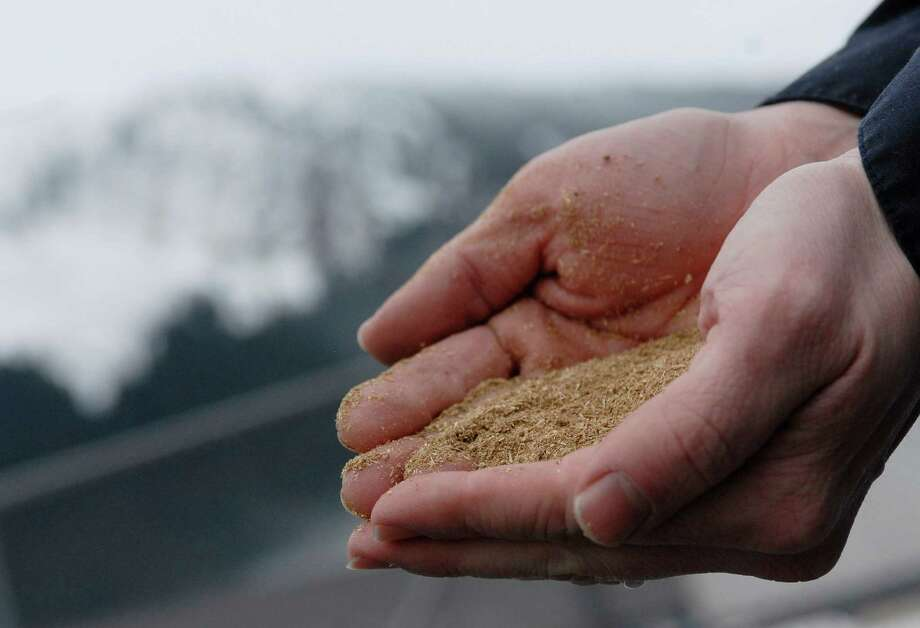 In this photo taken Jan 23, 2013, in Juneau, Alaska, Brandon Smith, the Alaskan Brewing Co.'s brewing operations and engineering manager, holds spent grain, or waste accumulated by the brewing process. The brewery has installed a unique boiler system that burns the company's dried, spent grain into steam which powers the majority of the plant's operations. (AP Photo/Joshua Berlinger) Photo: Joshua Berlinger