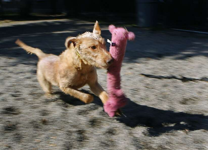 Sukey races around with a chew toy at the East Bay SPCA in Oakland, Calif. on Thursday, Jan. 31, 201