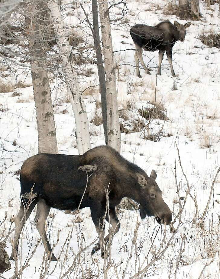 In this Jan. 26, 2013 photo, a cow moose and her calf make the most of mild temperatures and a low snowpack to find winter forage in Anchorage, Alaska. Photo: Matt Tunseth, Associated Press