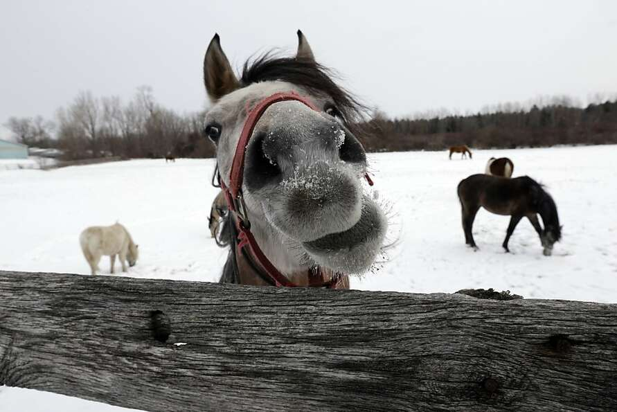 A horse nibbles on a fence as others graze in a field under a blanket of snow during the cold winter