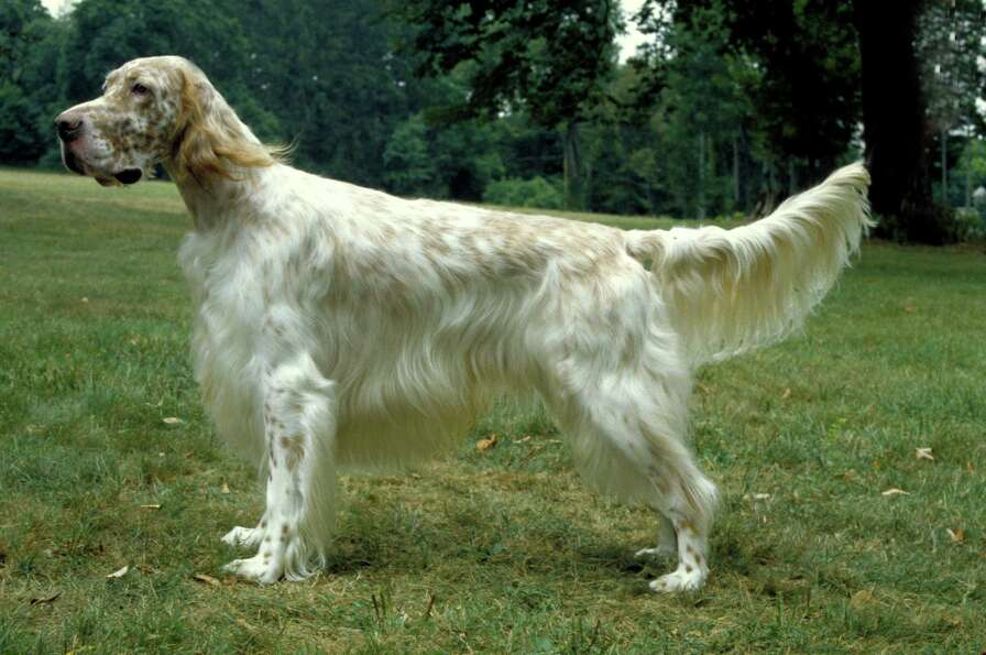 1880sThe top five breeds, including the English setter, seen here, Iris