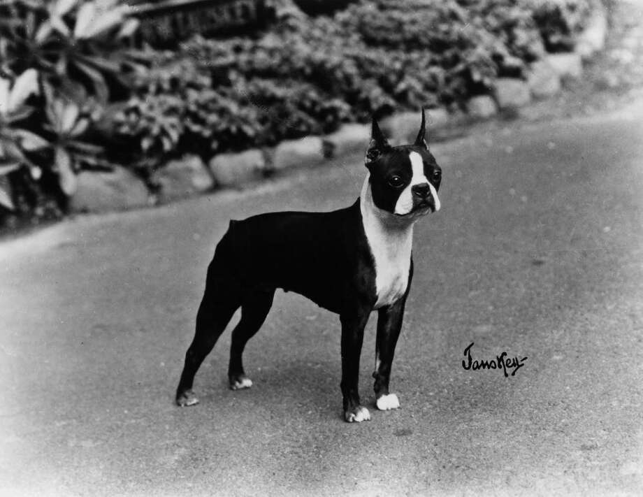 1910sThe Boston terrier becomes the top dog and remains the only American breed to reach that spot.Related story Photo: Associated Press / Courtesy American Kennel Club