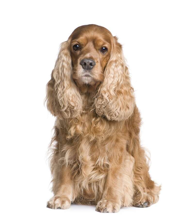 1940sCocker spaniels (American and English, all colors) begin their reign. One dog named My Own Brucie won dozens of best-of-show titles and a likeness on the cover of Life Magazine.Related story Photo: Eric IsselÃàe, Fotolia / handout / stock agency