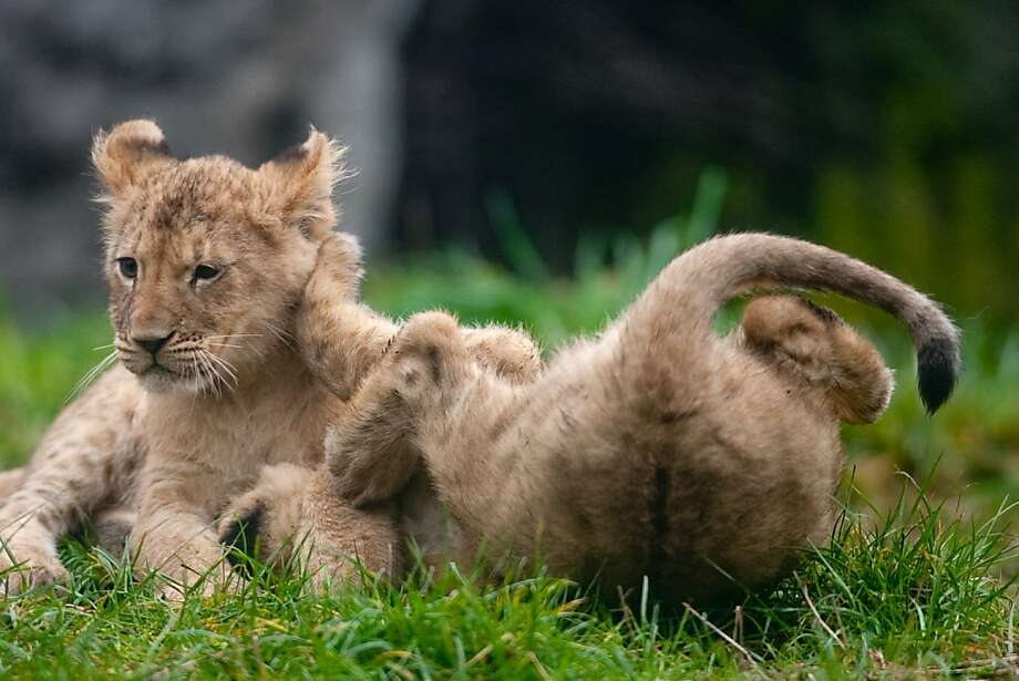 Lion upside-down:You can already tell that the one on the right won't be the alpha cat. (Woodland Park Zoo, Seattle.) Photo: Joshua Trujillo, Associated Press
