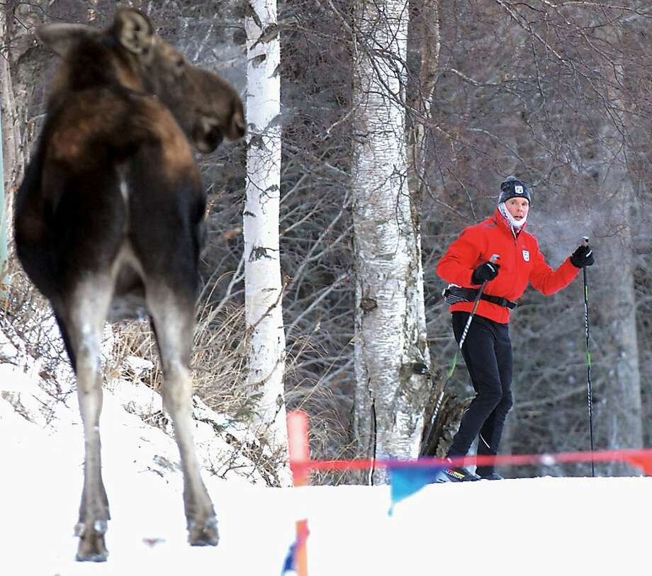 Don't have a cow:In Anchorage, a cross-country skier freezes upon discovering he's being watched. Photo: Matt Tunseth, Associated Press