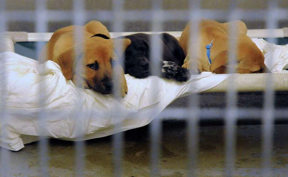 A litter of puppies wait for homes in a kennel at the Montgomery County Animal Shelter in Conroe. Photo: David Hopper, Freelance / freelance