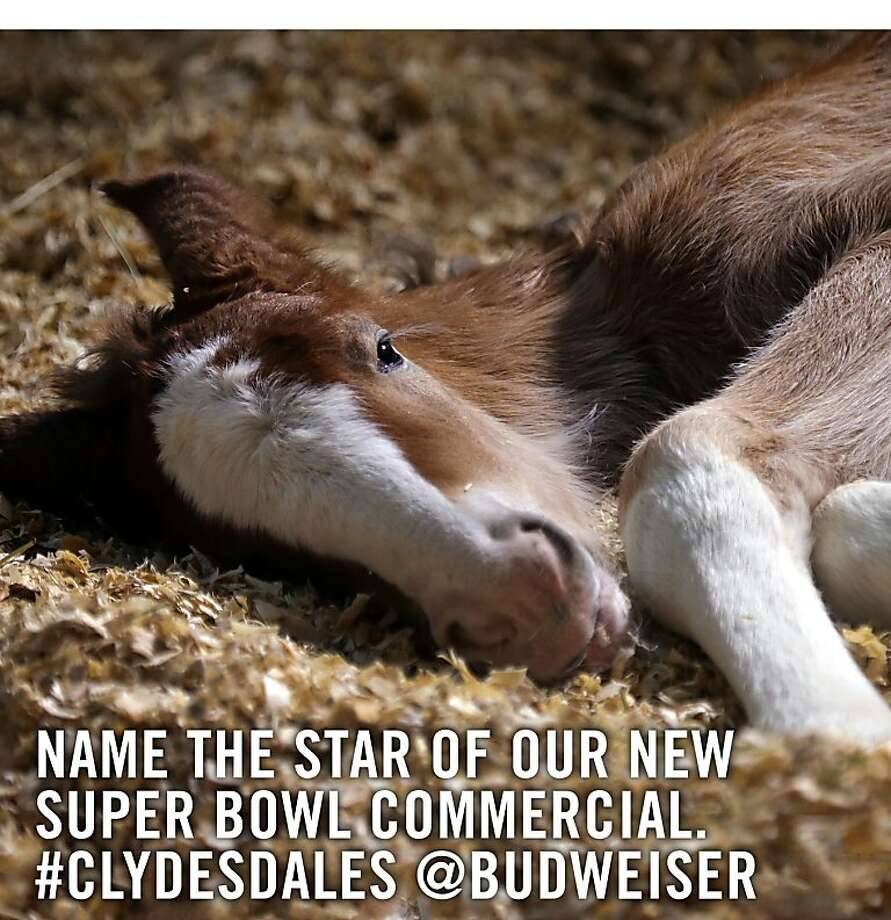 Budweiser launched its official Twitter feed on Sunday, January 27, with a tweet inviting fans to name the baby Clydesdale featured in its Super Bowl XLVII spot.  (PRNewsFoto/Anheuser-Busch) Photo: Associated Press