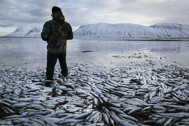Herring worth  billions in exports are seen floating dead Tuesday Feb. 5 2013 in Kolgrafafjordur, a small fjord on the northern part of Snaefellsnes peninsula, west Iceland, for the second time in two months. Between 25,000 and 30,000 tons of herring died in December and more now, due to lack of oxygen in the fjord thought to have been caused by a landfill and bridge constructed across the fjord in December 2004. The current export value of  the estimated 10,000 tons of herring amounts to ISK 1.25 billion ($ 9.8 million, euro 7.2 million), according to Morgunbladid newspaper. Photo: Brynjar Gauti, Associated Press