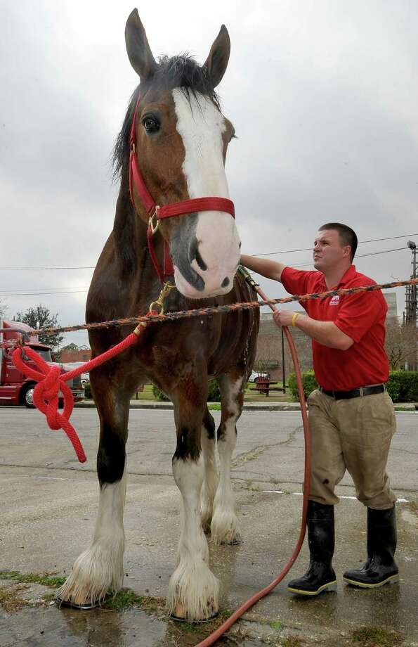 John Fink uses a spray brush to rinse some of the soap from the hindquarters of Pops as he seems to be enjoying the rubdown.  The Anheuser Busch's famous horses, the Clydesdales, are in Port Arthur for Mardi Gras and the team of eight 2,000-pound horses are the same team featured in the most popular Super Bowl commercial from this past weekend. The company that sells Budweiser, the beer brand associated with the horses, has three teams that go across the country for promotional purposes. The little foal featured in the commercial is not there.  The horses are at the Mardi Gras float den, 601 Procter Street through till next Monday. Dave Ryan/The Enterprise