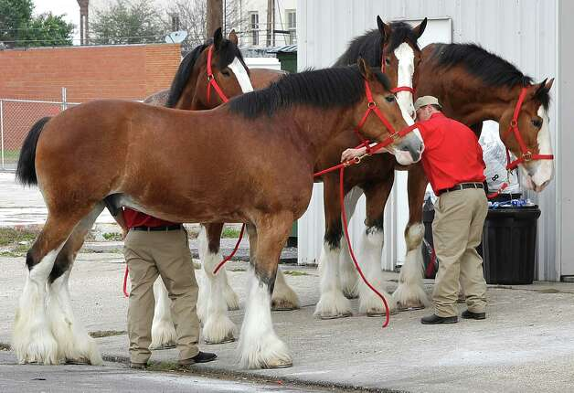 Zach Uding, one of the seven trainers in the crew, moves four of the horses into their temporary home in the float den building on Procter Street Tuesday morning. The Anheuser Busch's famous horses, the Clydesdales, are in Port Arthur for Mardi Gras and the team of eight 2,000-pound horses are the same team featured in the most popular Super Bowl commercial from this past weekend. The company that sells Budweiser, the beer brand associated with the horses, has three teams that go across the country for promotional purposes. The little foal featured in the commercial is not there.  The horses are at the Mardi Gras float den, 601 Procter Street through till next Monday. Dave Ryan/The Enterprise