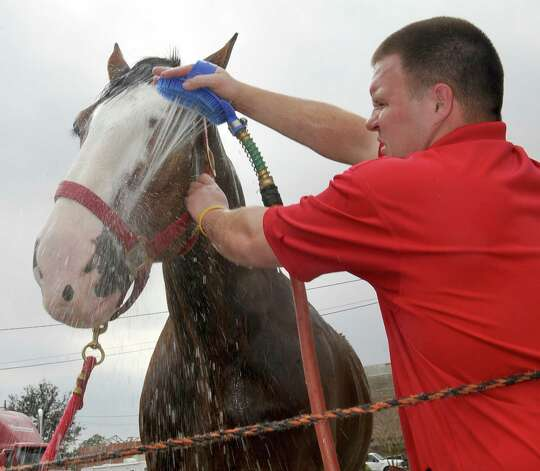 John Fink uses a spray brush to rinse some of the soap from Pops face as he works at keeping the soap from getting into the eyes. The Anheuser Busch's famous horses, the Clydesdales, are in Port Arthur for Mardi Gras and the team of eight 2,000-pound horses are the same team featured in the most popular Super Bowl commercial from this past weekend. The company that sells Budweiser, the beer brand associated with the horses, has three teams that go across the country for promotional purposes. The little foal featured in the commercial is not there.  The horses are at the Mardi Gras float den, 601 Procter Street through till next Monday. Dave Ryan/The Enterprise