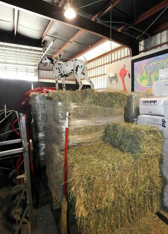 Brady, the Dalmatian that sits up with the driver of the coach, climbed up on top of stacked hay bales to get a good overview of all the horses back in their stalls. Anheuser-Busch's famous horses, the Clydesdales, are in Port Arthur for Mardi Gras and the team of eight 2,000-pound horses are the same team featured in the most popular Super Bowl commercial from this past weekend. The company that sells Budweiser, the beer brand associated with the horses, has three teams that go across the country for promotional purposes. The little foal featured in the commercial is not there.  The horses are at the Mardi Gras float den, 601 Procter Street through till next Monday. Dave Ryan/The Enterprise