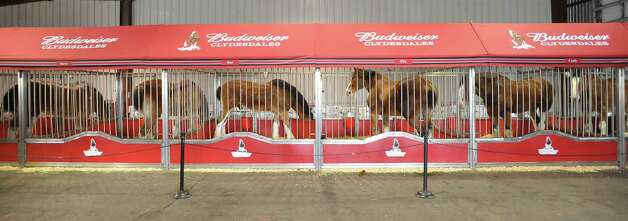Anheuser-Busch's famous horses, the Clydesdales, are in Port Arthur for Mardi Gras and the team of eight 2,000-pound horses are the same team featured in the most popular Super Bowl commercial from this past weekend. The company that sells Budweiser, the beer brand associated with the horses, has three teams that go across the country for promotional purposes. The little foal featured in the commercial is not there.  The horses are at the Mardi Gras float den, 601 Procter Street through till next Monday. Dave Ryan/The Enterprise
