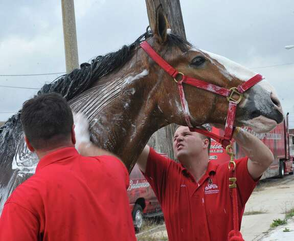 As big as the horses are, sometimes it helps to have two trainers working simultaneously. Roman Raber, left, helps John Fink, right, scrub the neck and mane belonging to Pops. The Anheuser Busch's famous horses, the Clydesdales, are in Port Arthur for Mardi Gras and the team of eight 2,000-pound horses are the same team featured in the most popular Super Bowl commercial from this past weekend. The company that sells Budweiser, the beer brand associated with the horses, has three teams that go across the country for promotional purposes. The little foal featured in the commercial is not there.  The horses are at the Mardi Gras float den, 601 Procter Street through till next Monday. Dave Ryan/The Enterprise