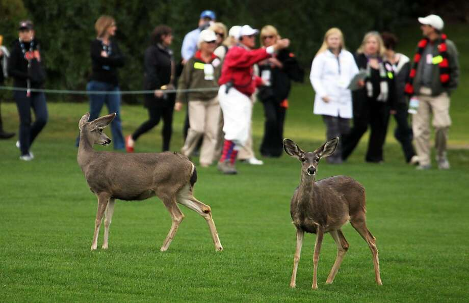 Deer look for away to escape the gallery on the 2nd hole at the AT&T Pebble Beach National Pro-Am go