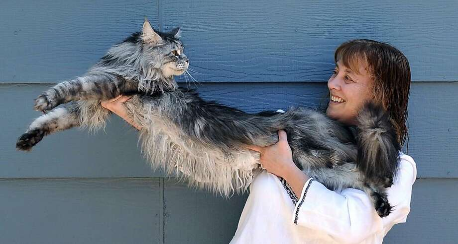 A long life comes to an end: Robin Hendrickson of Reno, Nev., says her Maine Coon Stewie has died after a year-long battle with cancer. In 2010, Guinness World Records declared Stewie the world's longest cat, measuring 48.5 inches from the tip of his nose to the tip of his tail. Rest in peace, Stewie. Photo: Andy Barron, Associated Press