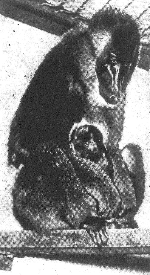 San Antonio's current proudest mama, zoologically so to speak, is Mabel Baboon at Brackenridge Park, shown with Baboonita, the first drill baboon to be born in San Antonio. The parents came to the city five years ago as a gift. Published in the San Antonio Light Feb. 23, 1938. Photo: File Photo