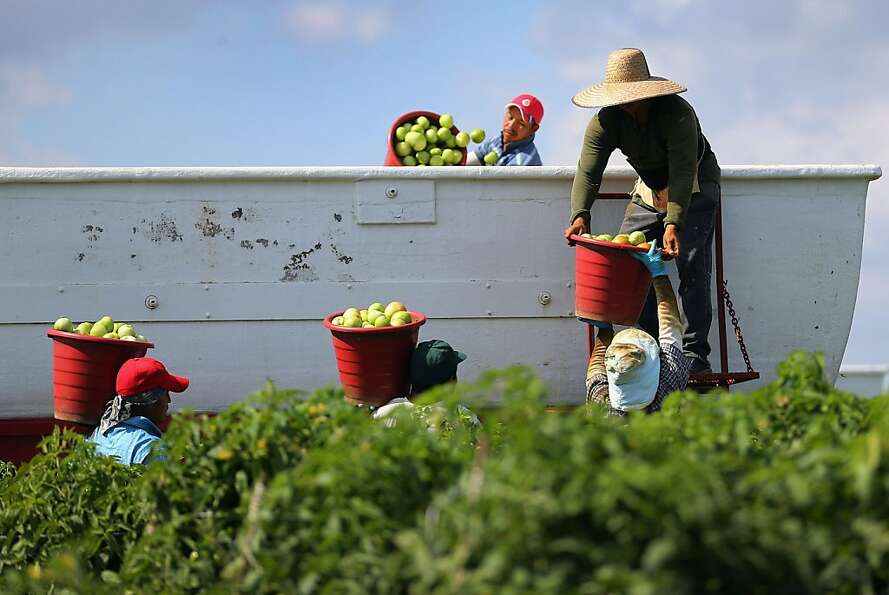 FLORIDA CITY, FL - FEBRUARY 06:  Workers fill a trailer with tomatoes as they harvest them in the fi