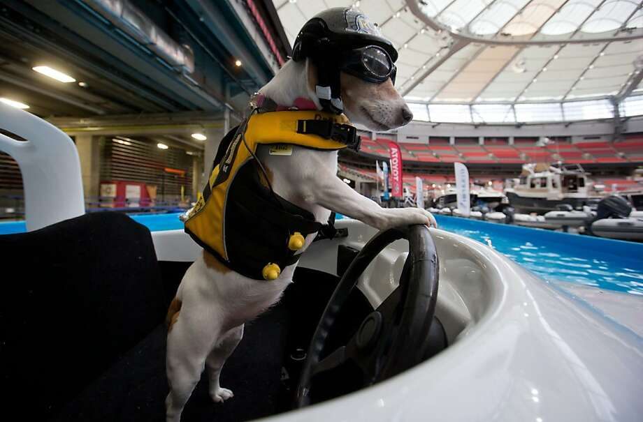 Not to burst your bike-riding balloon, Norman, but Duma the Jack Russell terrier can operate a motorboat. True, he mostly goes around in circles in the pool at the Vancouver (B.C.) International Boat Show, but still. Photo: Darryl Dyck, Associated Press