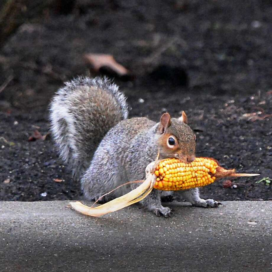 Blizzard's coming. Hurry up and finish your corn! Albany, N.Y. - where this squirrel lives - and other cities in New York and New England were bracing for a monster snowstorm Friday. Photo: John Carl D'Annibale, Albany Times Union