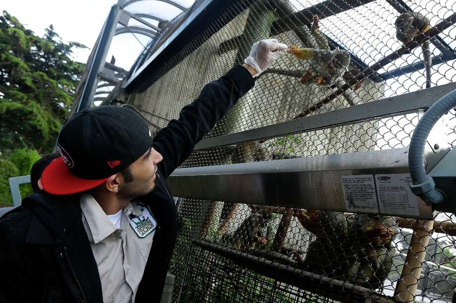 San Francisco Giants pitcher Sergio Romo feeds a squirrel monkey named after Giants catcher Buster Posey at the San Francisco Zoo in San Francisco, Thursday, Feb. 7, 2013. A four-month old female langur monkey, born during the Giants' National League Divisional Series against the Cincinnati Reds, was named Sergio Romo after the Giants won baseball's World Series. Photo: Jeff Chiu, Associated Press / AP