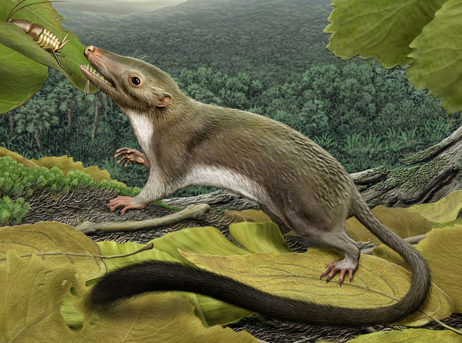 An illustration shows what researchers believe is the first mammal. A study says it first appeared more than 65 million years ago, just after a comet or asteroid smashed into the Gulf of Mexico and ended the reign of the dinosaurs. Photo: Carl Buell / American Museum Of Natural History