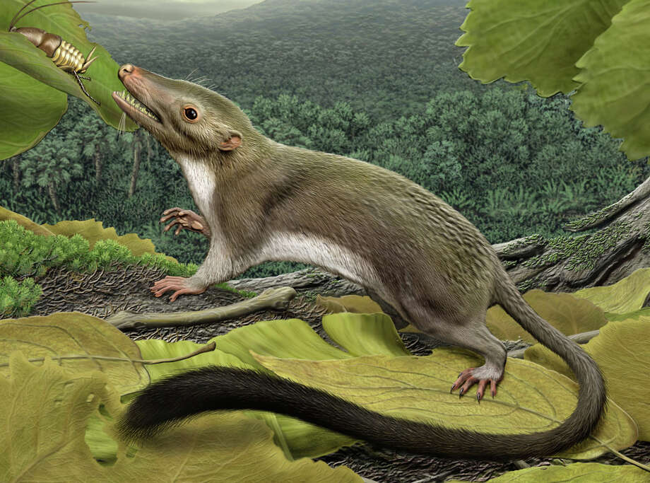 This 2012 artist's rendering provided by the American Museum of Natural History shows a hypothetical placental mammal ancestor - a 65-million-year-old shrewish, insect-eating critter slightly bigger than a mouse. Photo: Carl Buell, HONS / American Museum of Natural Histo