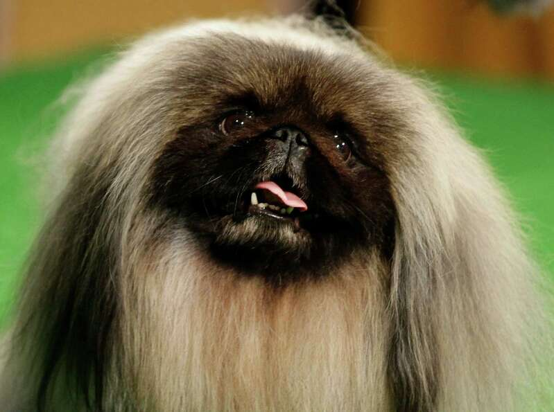 2012 Westminster Kennel Club dog show best in show winner, Malachy, a Pekingese, is shown during a p