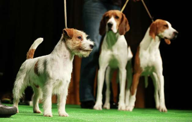 Xcetera and Meg (R), Treeing Walker Coonhounds, watch a Russell Terrier at a press conference kicking off the 137th Annual Westminster Kennel Club Dog Show on February 7, 2013 in New York City. This year's event will feature these two new breeds and will take place February 11 and 12. Photo: Mario Tama, Getty Images / 2013 Getty Images