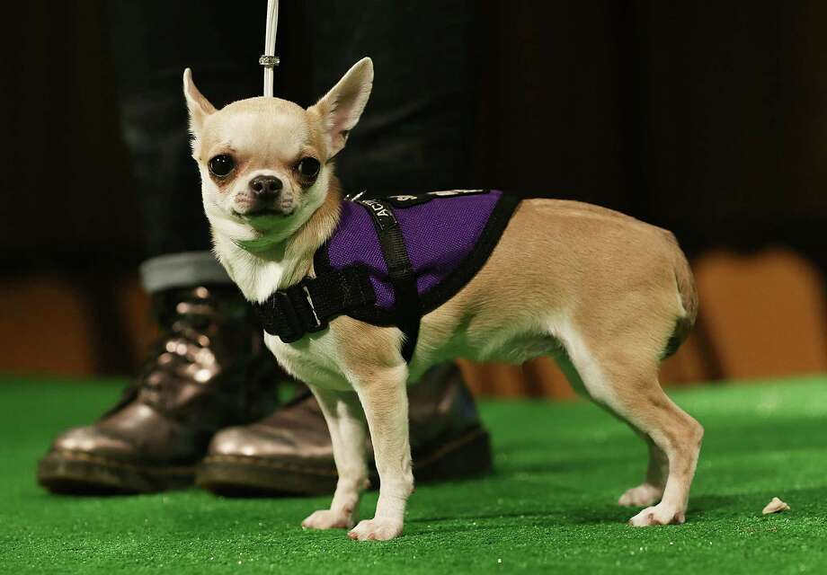 Mia, a Chihuahua , stands at a press conference kicking off the 137th Annual Westminster Kennel Club Dog Show on February 7, 2013 in New York City. This year's event will feature two new breeds, Treeing Walker Coonhounds and Russell Terriers and will take place February 11 and 12. Photo: Mario Tama, Getty Images / 2013 Getty Images