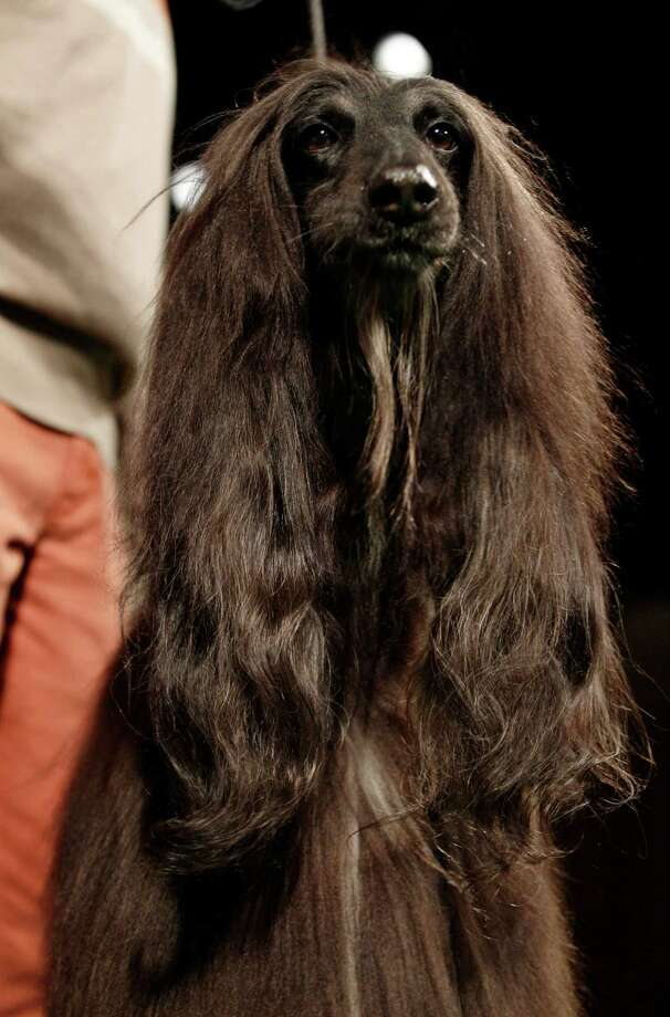 Chile, an Afghan hound, is shown during a press conference to announce the 137th Annual Westminster Kennel Club dog show Thursday, Feb. 7, 2013, in New York. Photo: Frank Franklin II, Associated Press / AP