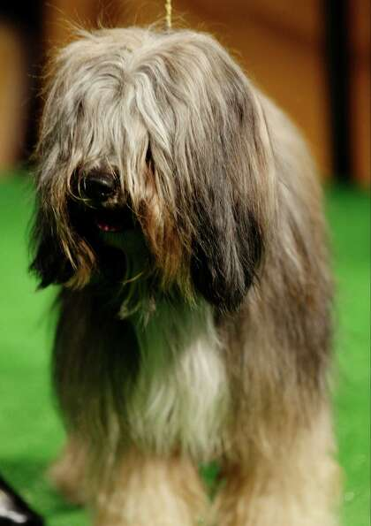 Keaton, a Tibetan terrier, is shown during a press conference to announce the 137th Annual Westminst