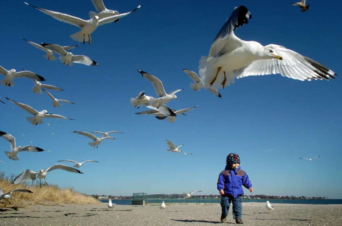Eighteen-month-old Peter Savoie, of Milford, walks through a flock of seagulls on a mid-February afternoon at Silver Sands State Park in Milford.