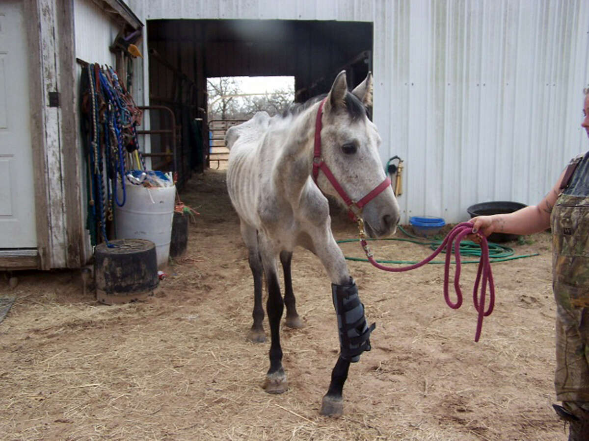 The injured horse, named Spirit, was seized from a home in Elmendorf last month. The animal is in critical condition with a broken kneecap that healed improperly and is extremely malnourished.