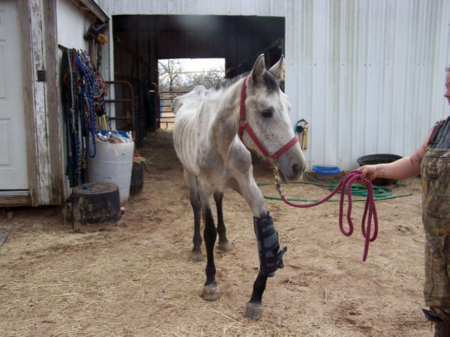 The injured horse, named Spirit, was seized from a home in Elmendorf last month. The animal is in critical condition with a broken kneecap that healed improperly and is extremely malnourished. Photo: Courtesy Photo