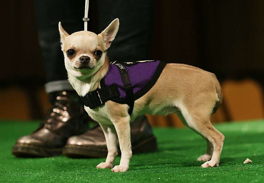 Mia, a Chihuahua , stands at a press conference kicking off the 137th Annual Westminster Kennel Club Dog Show on February 7, 2013 in New York City. This year's event will feature two new breeds, Treeing Walker Coonhounds and Russell Terriers and will take place February 11 and 12. Photo: Mario Tama, Getty Images