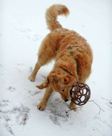 A snowy day =  fun for this playful pup. A wet sticky snow started to fall in Fairfield, Conn. about 7:30 am on Friday, Feb. 8, 2013, and is expected to continue into the night possibly developing into blizzard conditions. Photo: Cathy Zuraw / Connecticut Post
